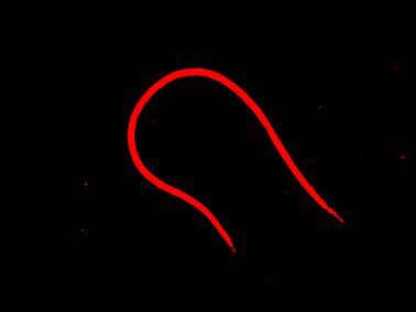 transgenic b malayi